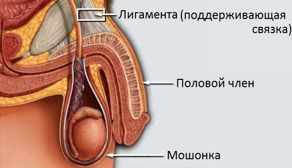 Подготовка к увеличению головки полового члена