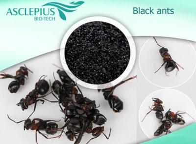 черный королевский муравей