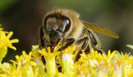 как употреблять пергу пчелиную в гранулах мужчинам